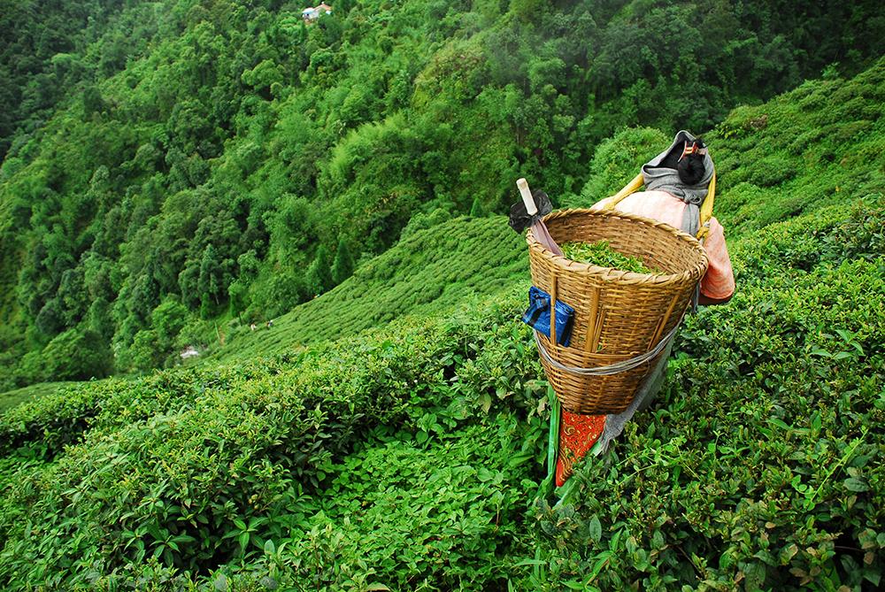 Arbeiterin auf Tee-Plantage